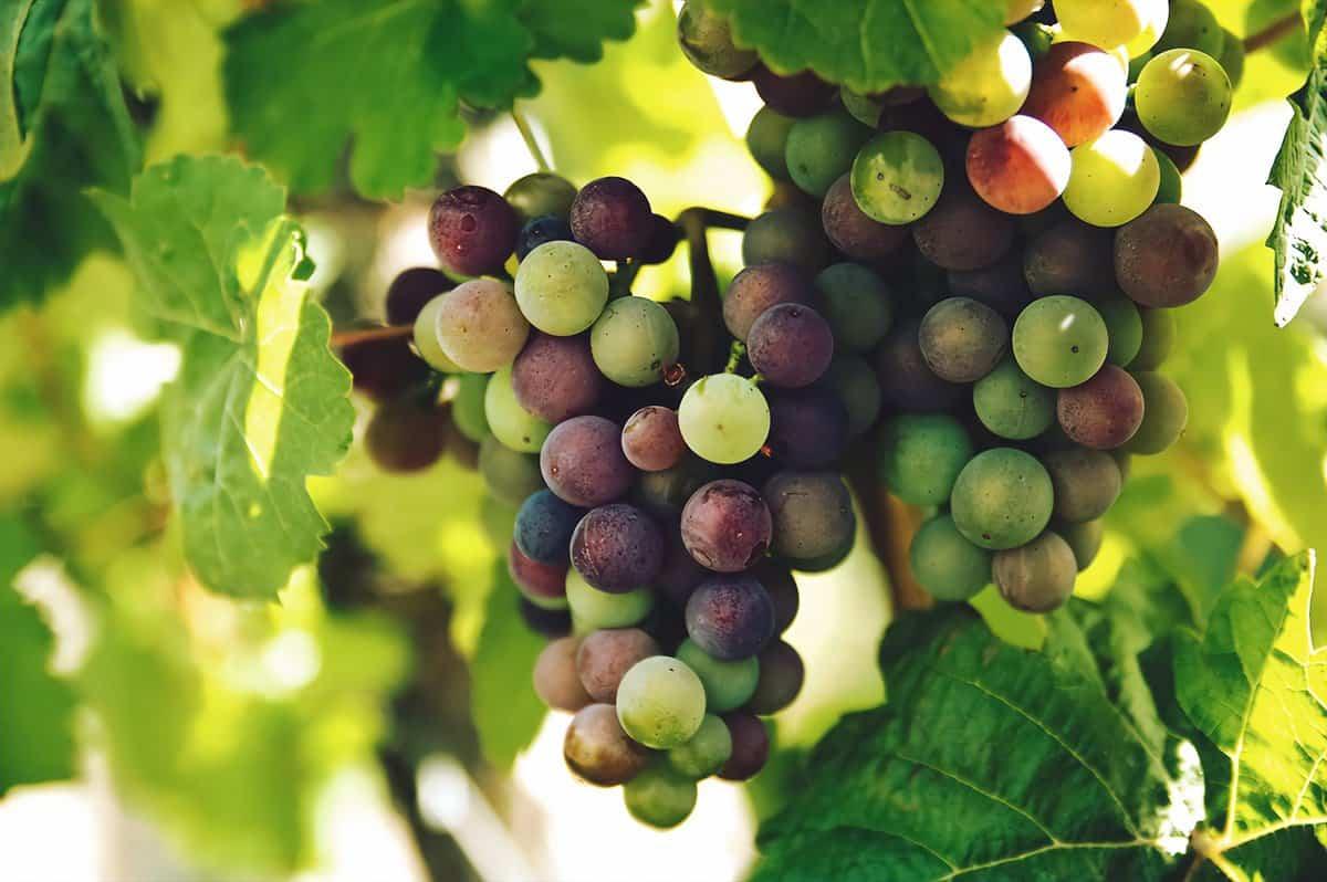 Glory Grapes